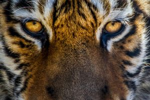Eye of the Tiger by nigel3