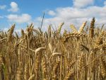 Ripened Wheat by moonhare77
