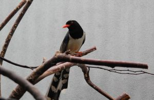Red-billed blue magpie by MagicCometART