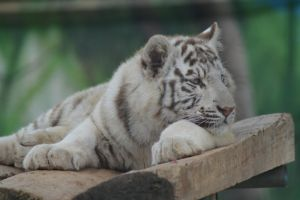 White Tiger 8 by decolesse-stock