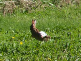 Bunny in mid leap by captpackrat