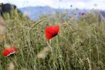 poppies field and mountains 2 by emmagucci