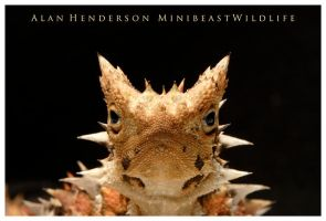 Thorny Devil by Lycosa-Jones