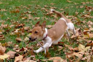 Jack Russell Terrier by Lizizumi