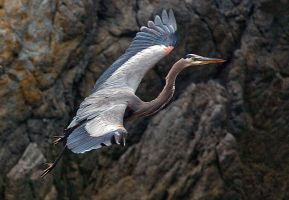 blue heron in flight by cenevols