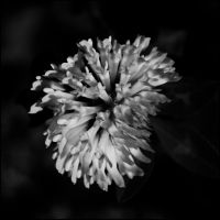 BW flower by black--balloon