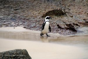 African Penguin by Martina-WW