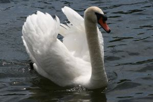 swan stock by Amor-Fati-Stock