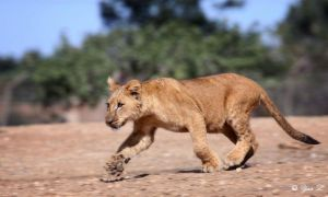 lion cub on the run by Yair-Leibovich