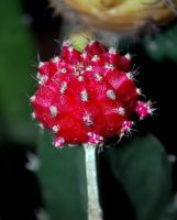 Chin Cactus - Red by Br0wnnie