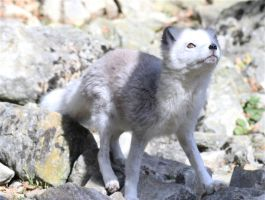 Arctic Fox VIII by Parides