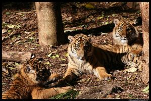 Three Baby Tigers by TVD-Photography