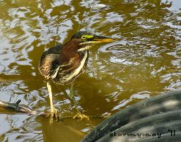 Little Brown Shore Bird by stormymay888