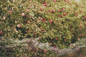 Apples by Freacore