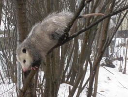 opossum in tree by AnnieHoppe