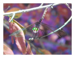 dragonfly by mylivingphotography