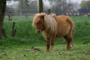 Shetland pony stock by Visibre