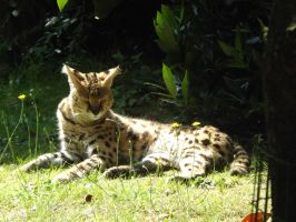 2014 - Serval 53 by Lena-Panthera