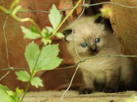 Siamese kitten by floflo