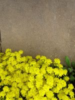 Yellow Flowers by bean-stock