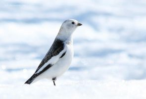 Snow Bunting II by tjuh