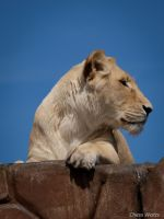 Lioness II by ChessW24