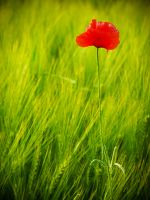 Lonley poppy by Yeloon