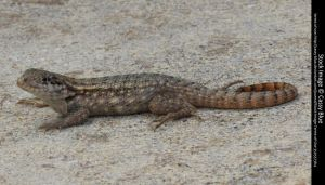 Curly Tail Lizard Stock 8 by Cassy-Blue