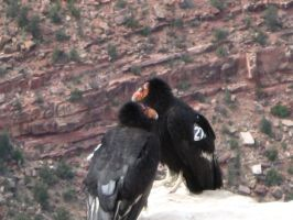 Two California Condors by borgking001a