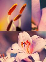 lily by Innette