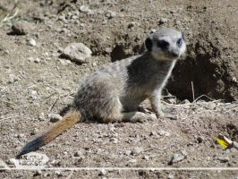 Baby Meerkat by AndrewNickson