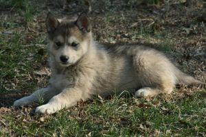 Timber the Wolf-Dog Puppy by greensh