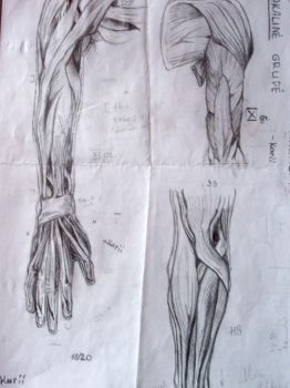 Anatomy Study : Arm Muscles by SustojesLaikas