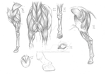 Horse Anatomy Study by LuckasK