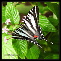 Zebra Swallowtail in Spring by Mogrianne