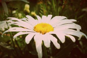 Daisy by PhotographyisArt123