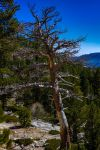 Battered Tree, Eagle Falls Trail, Lake Tahoe by mouthmango