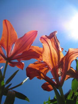 Tiger Lily Summer by FaunaOfMirrors