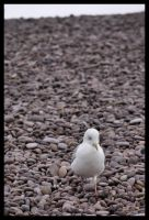 Seagull Concentrating by LadyShamisen