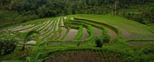 rice terraces bali by worldpitou