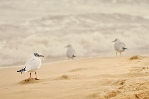 Seagulls by Justysiak