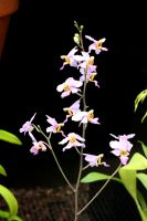 A Spray Of Hot House Orchids by aegiandyad
