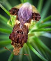 Jagged Ambush Bug - top view by WanderingMogwai