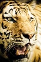 Eye Of The Tiger by SNULight