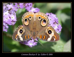 Common Buckeye II 1313 by Eolhin