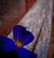 pansy on a fence by Emmk1970