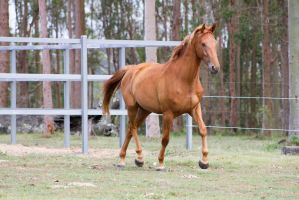 Dn WB trot chestnut front side view by Chunga-Stock