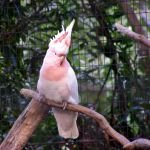 Pink Cockatoo by AtomicBrownie