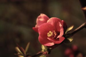 red apple blossom by pimpay