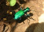 Tiger Beetle by SpiderMilkshake
